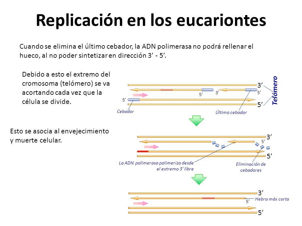 Replicación en los eucariontes