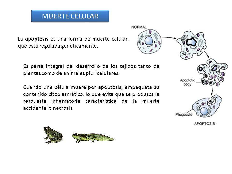 MUERTE CELULARLa apoptosis es una forma de muerte celular, que está regulada genéticamente.