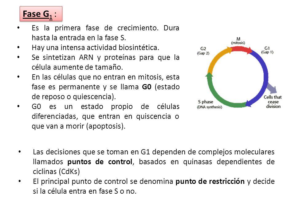 Fase G1 : Es la primera fase de crecimiento. Dura hasta la entrada en la fase S. Hay una intensa actividad biosintética.