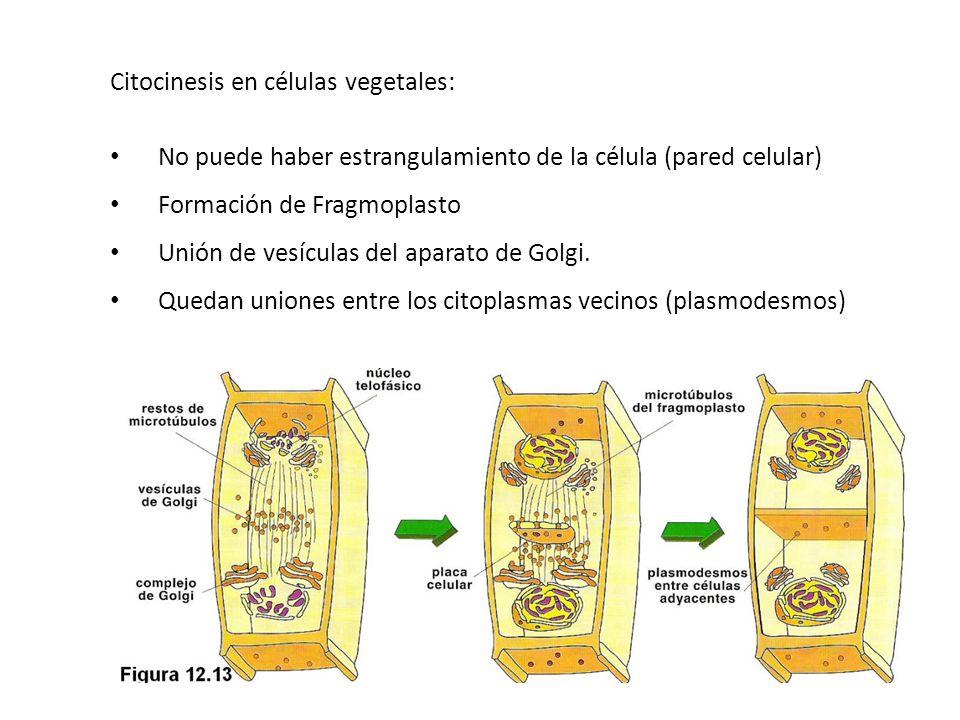 Citocinesis en células vegetales: