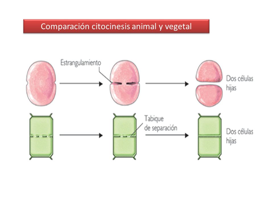 Comparación citocinesis animal y vegetal