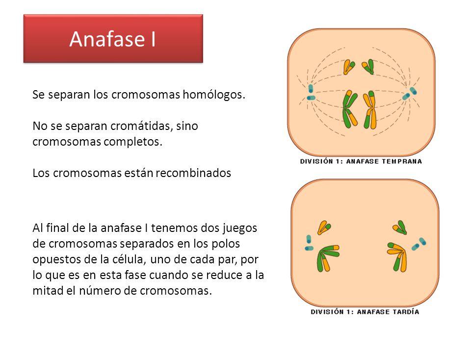 Anafase I Se separan los cromosomas homólogos.
