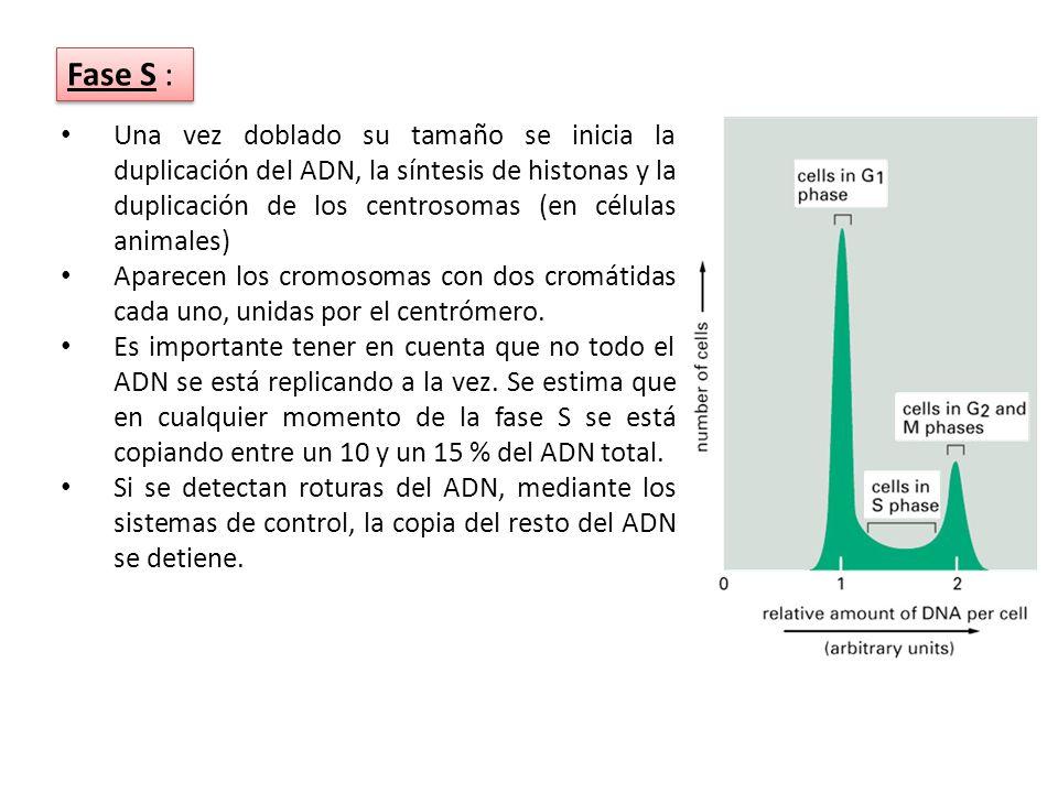 Una vez doblado su tamaño se inicia la duplicación del ADN, la síntesis de histonas y la duplicación de los centrosomas (en células animales)