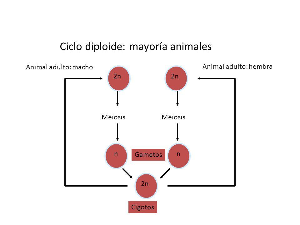 Ciclo diploide: mayoría animales