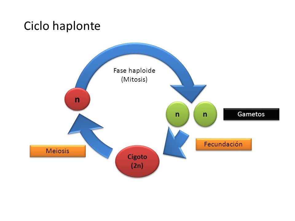 Ciclo haplonte n n n Fase haploide (Mitosis) Gametos Fecundación