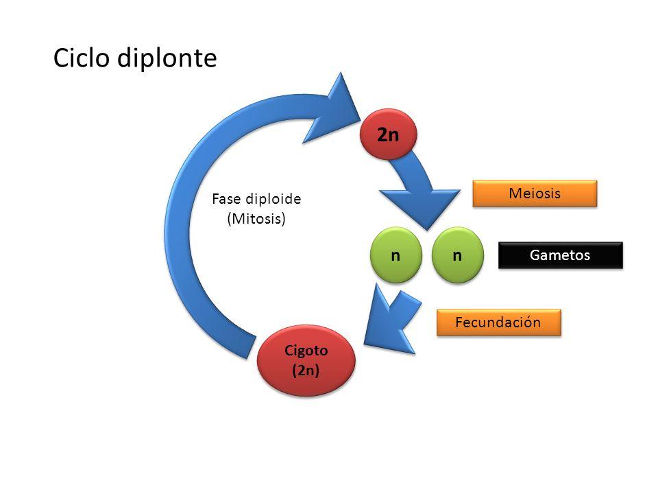 Ciclo diplonte 2n n n Meiosis Fase diploide (Mitosis) Gametos
