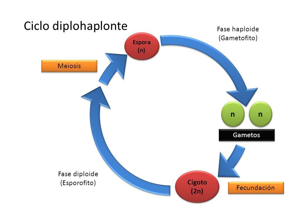 Ciclo diplohaplonte n n Fase haploide (Gametofito) Meiosis Gametos