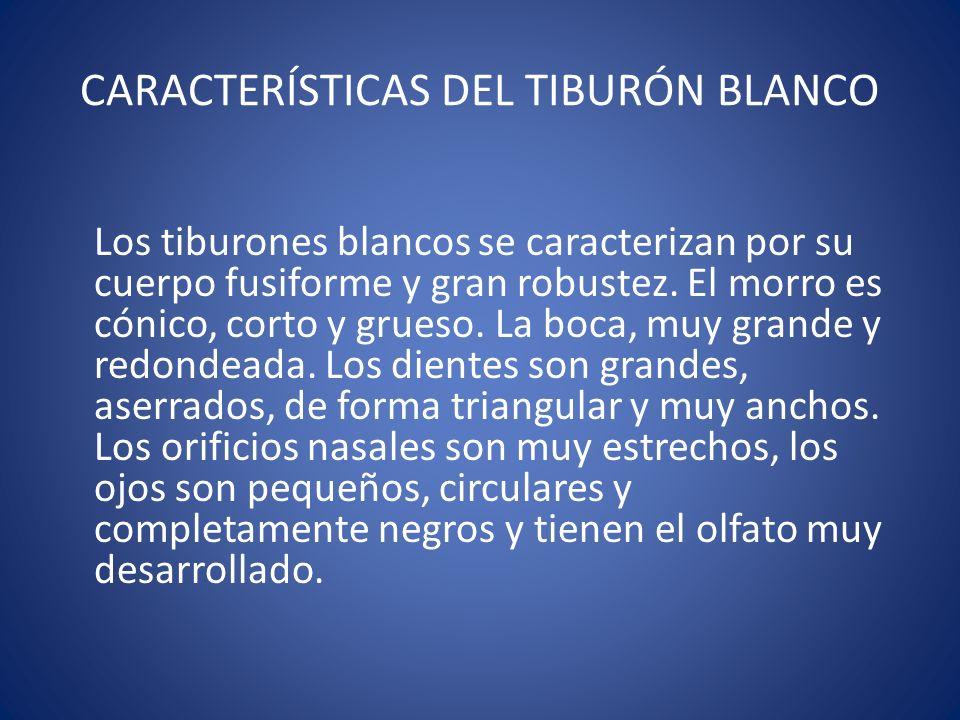 CARACTERÍSTICAS DEL TIBURÓN BLANCO