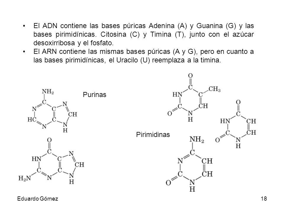 El ADN contiene las bases púricas Adenina (A) y Guanina (G) y las bases pirimidínicas. Citosina (C) y Timina (T), junto con el azúcar desoxirribosa y el fosfato.