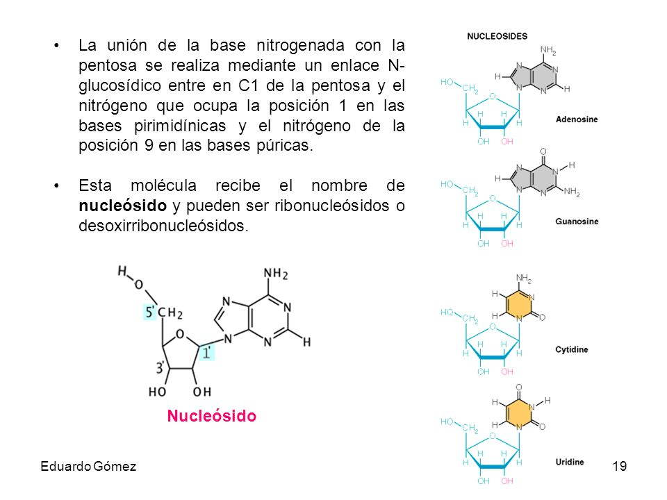 La unión de la base nitrogenada con la pentosa se realiza mediante un enlace N-glucosídico entre en C1 de la pentosa y el nitrógeno que ocupa la posición 1 en las bases pirimidínicas y el nitrógeno de la posición 9 en las bases púricas.