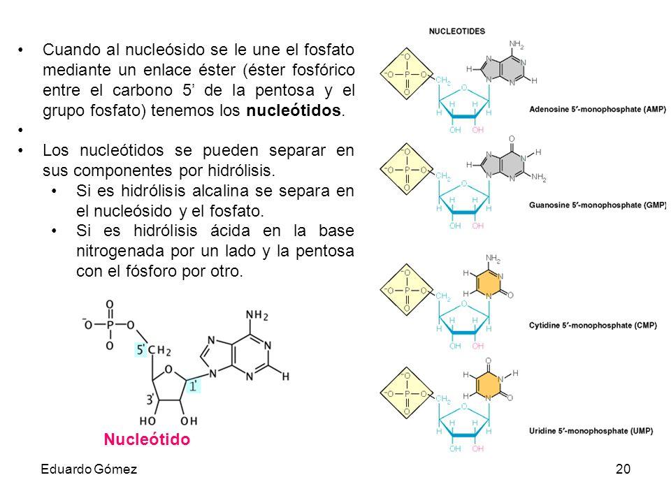 Los nucleótidos se pueden separar en sus componentes por hidrólisis.
