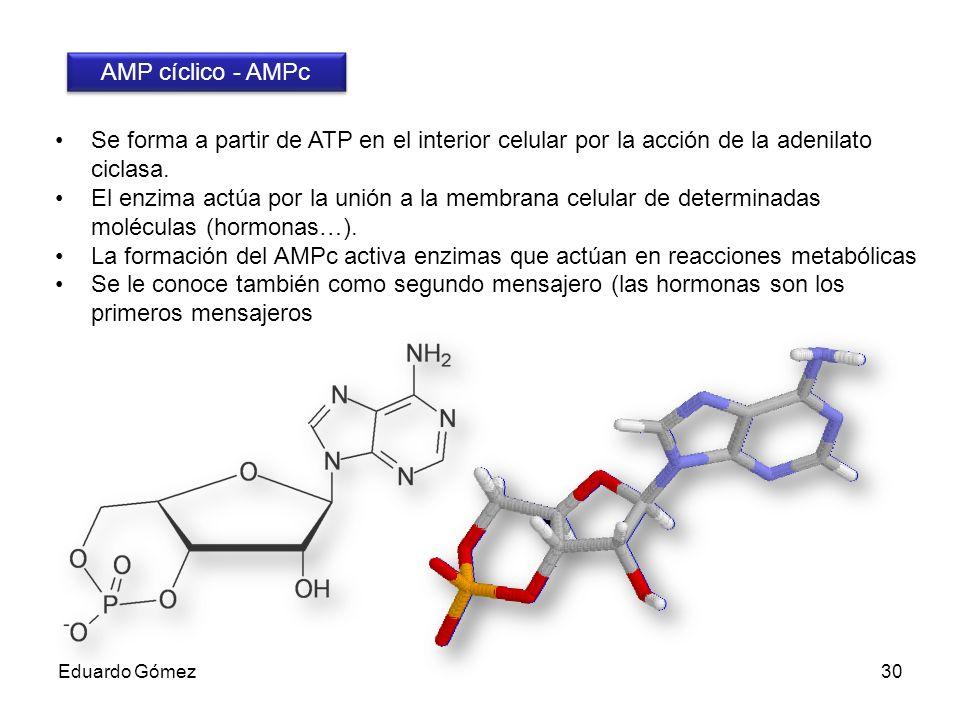 AMP cíclico - AMPc Se forma a partir de ATP en el interior celular por la acción de la adenilato ciclasa.