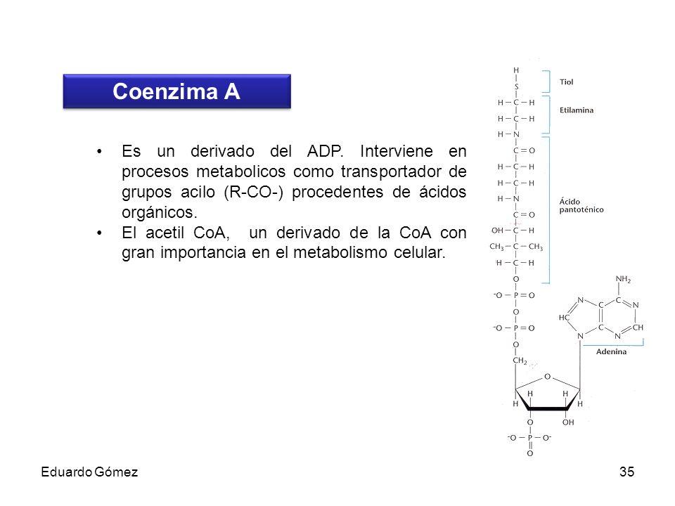 Coenzima A Es un derivado del ADP. Interviene en procesos metabolicos como transportador de grupos acilo (R-CO-) procedentes de ácidos orgánicos.