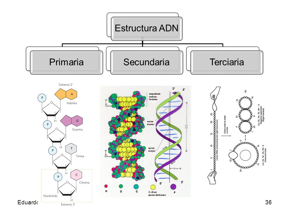 Estructura ADN Primaria Secundaria Terciaria Eduardo Gómez
