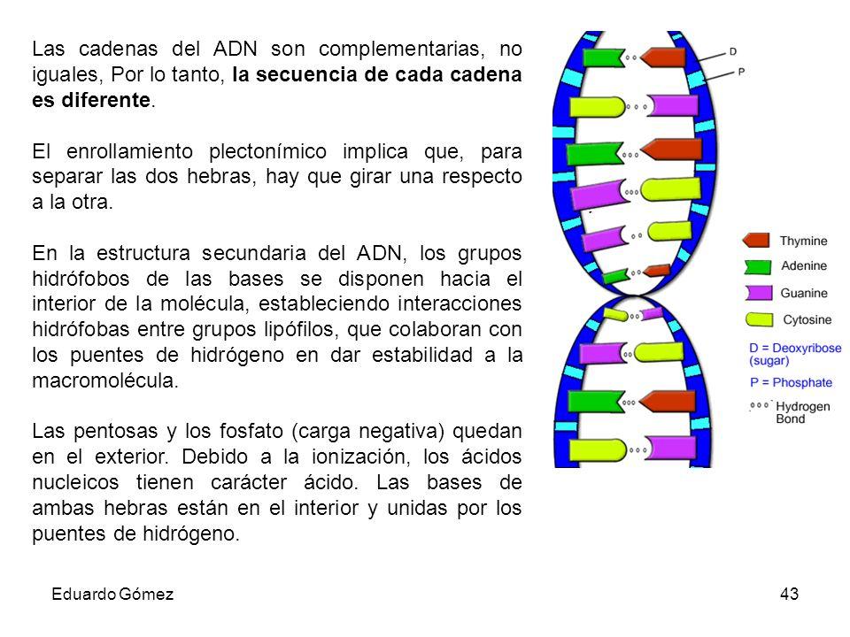 Las cadenas del ADN son complementarias, no iguales, Por lo tanto, la secuencia de cada cadena es diferente.