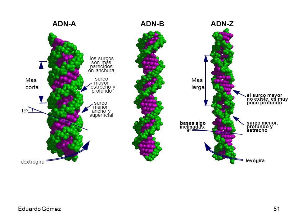 ADN-A ADN-B ADN-Z Más corta Más larga Eduardo Gómez los surcos son más