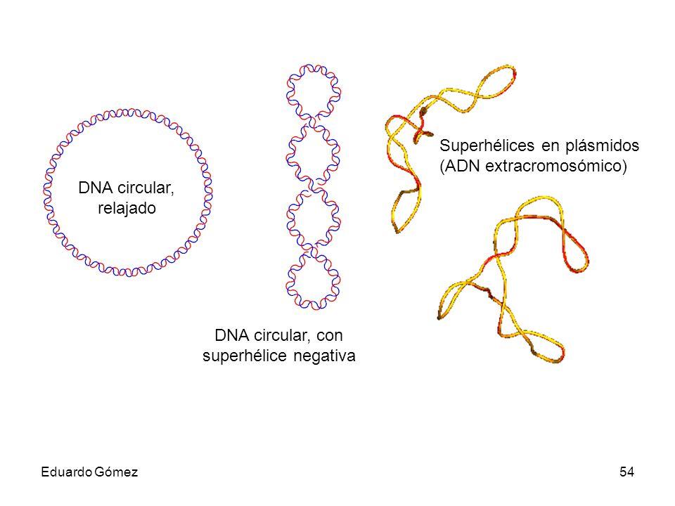 Superhélices en plásmidos (ADN extracromosómico)