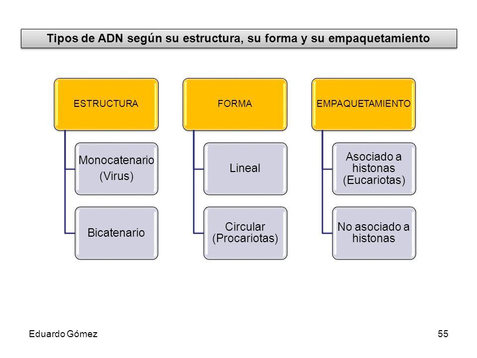 Tipos de ADN según su estructura, su forma y su empaquetamiento