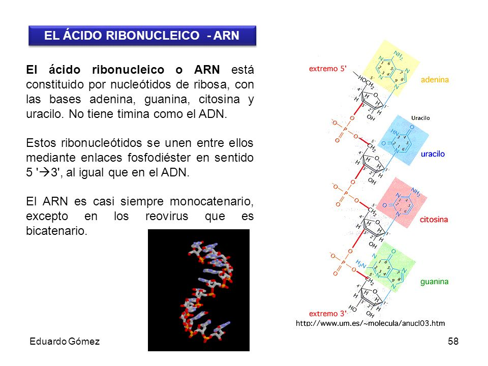 EL ÁCIDO RIBONUCLEICO - ARN