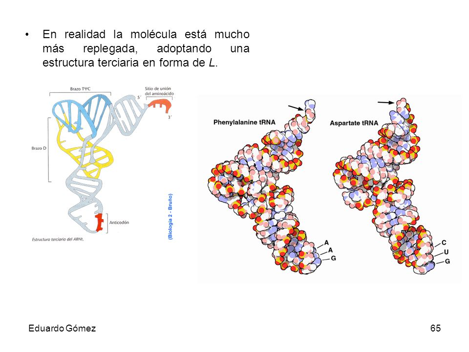 En realidad la molécula está mucho más replegada, adoptando una estructura terciaria en forma de L.