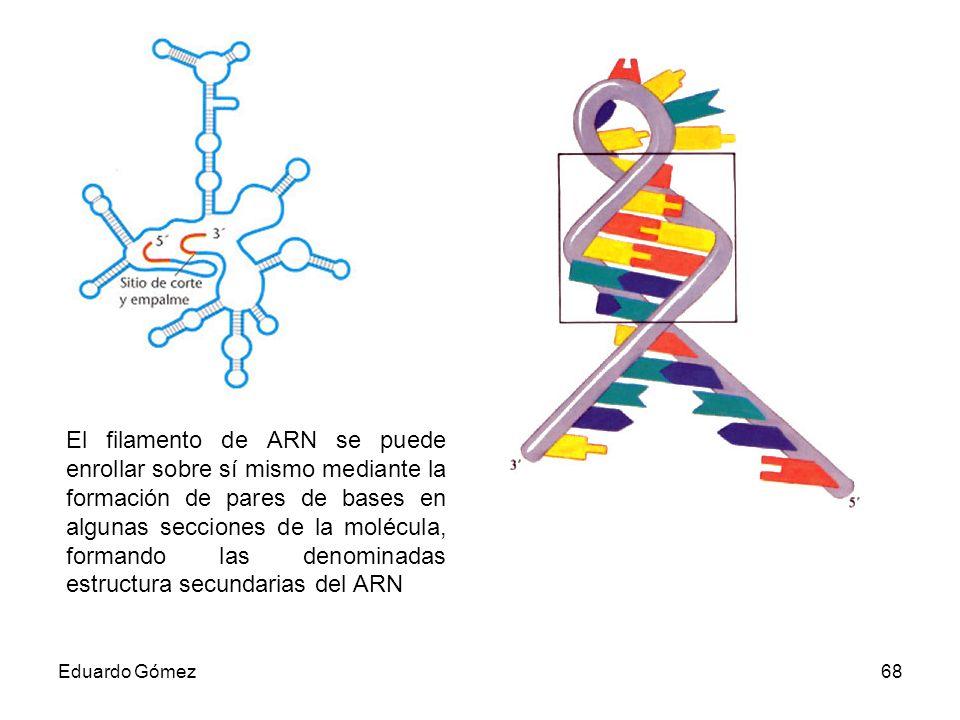 El filamento de ARN se puede enrollar sobre sí mismo mediante la formación de pares de bases en algunas secciones de la molécula, formando las denominadas estructura secundarias del ARN
