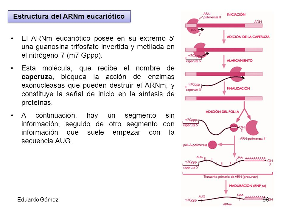 Estructura del ARNm eucariótico