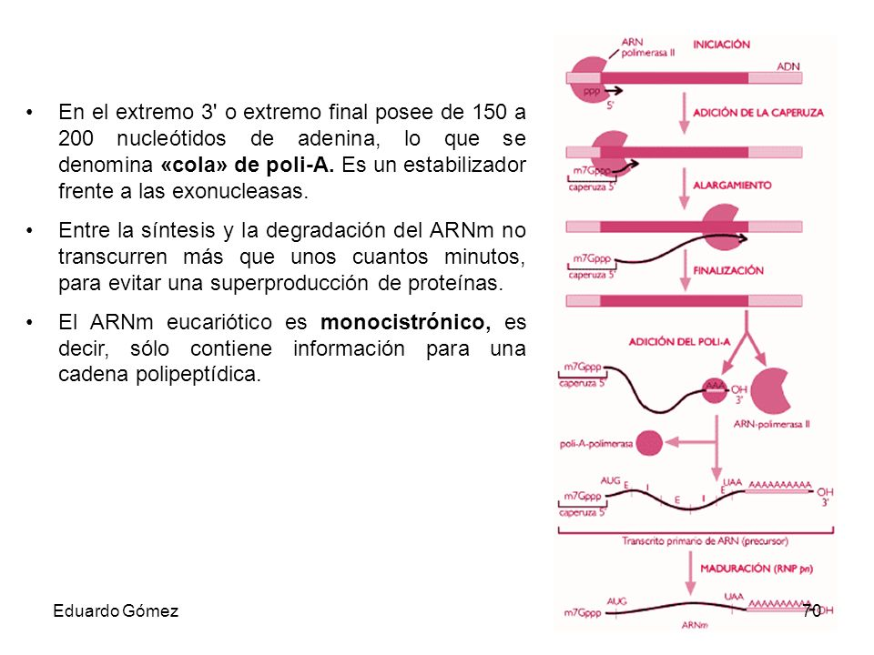 En el extremo 3 o extremo final posee de 150 a 200 nucleótidos de adenina, lo que se denomina «cola» de poli-A. Es un estabilizador frente a las exonucleasas.