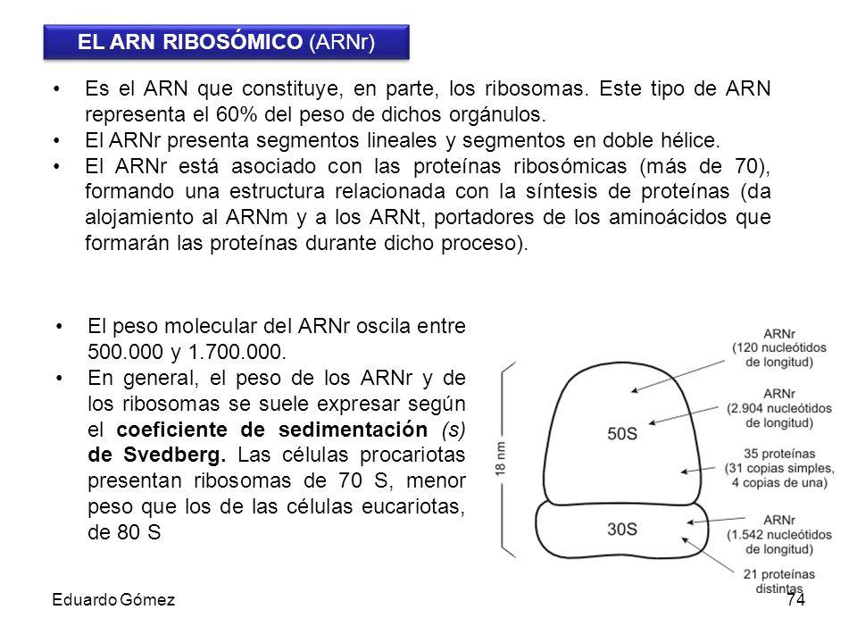 EL ARN RIBOSÓMICO (ARNr)