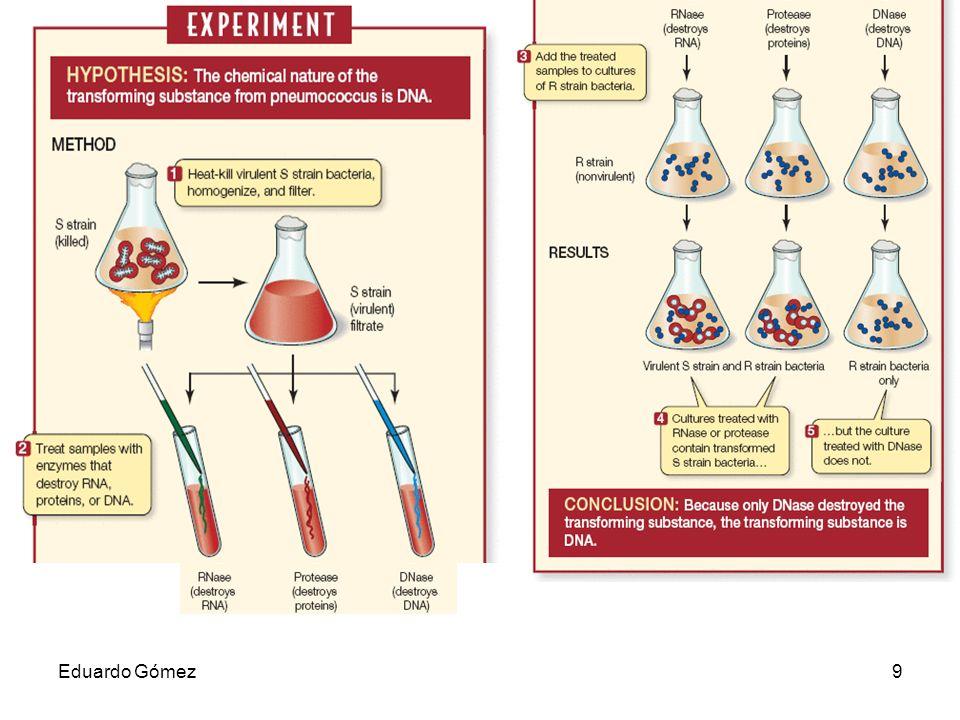 En los años 40 (19..), Oswald Avery, Colin MacLeod, y Maclyn McCarty revisaron el experimento de Griffith y concluyeron que el factor de transformación era el ADN. Oswald Avery repitiendo el trabajo de Griffith con el agregado de una enzima que destruía el ADN, demostró que el factor de transformación era el ADN. Cuando Avery agregaba esta enzima, no observaba la transformación obtenida por Griffith. El concluyó que el material hereditario era ADN y no una proteína. Su evidencia era fuerte pero no totalmente concluyente, para esa época el candidato principal para ser el material hereditario eran una proteína.