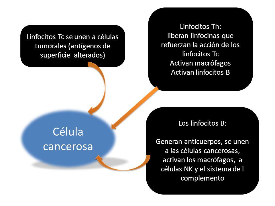 liberan linfocinas que refuerzan la acción de los linfocitos Tc
