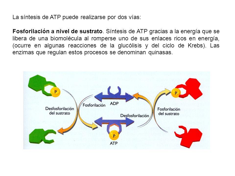 La síntesis de ATP puede realizarse por dos vías:
