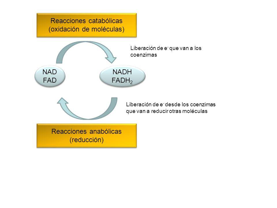 Reacciones catabólicas (oxidación de moléculas)