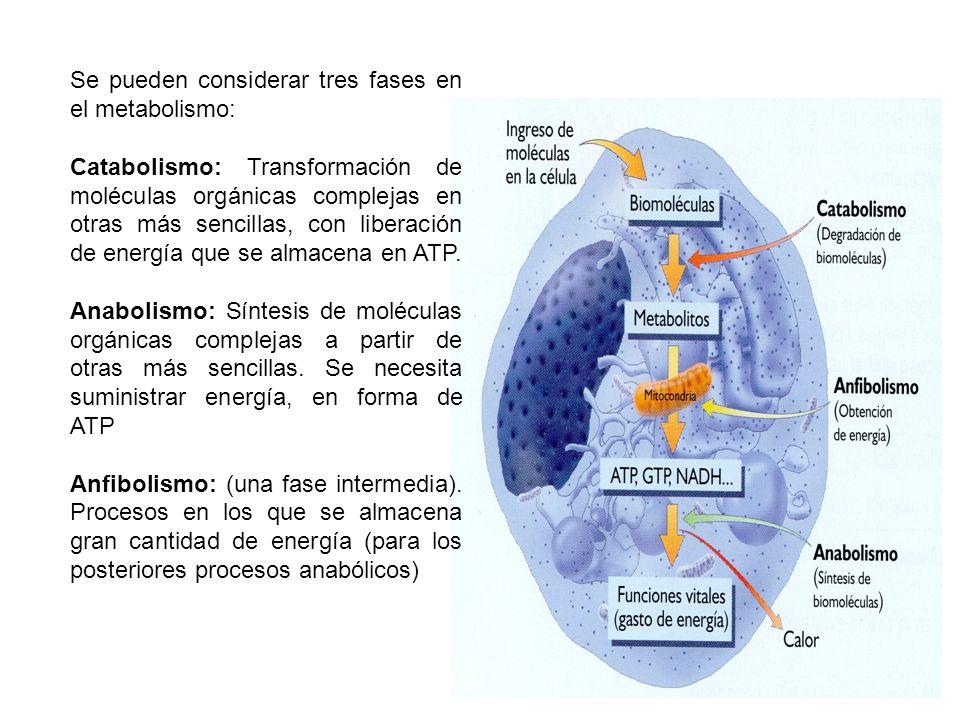 Se pueden considerar tres fases en el metabolismo: