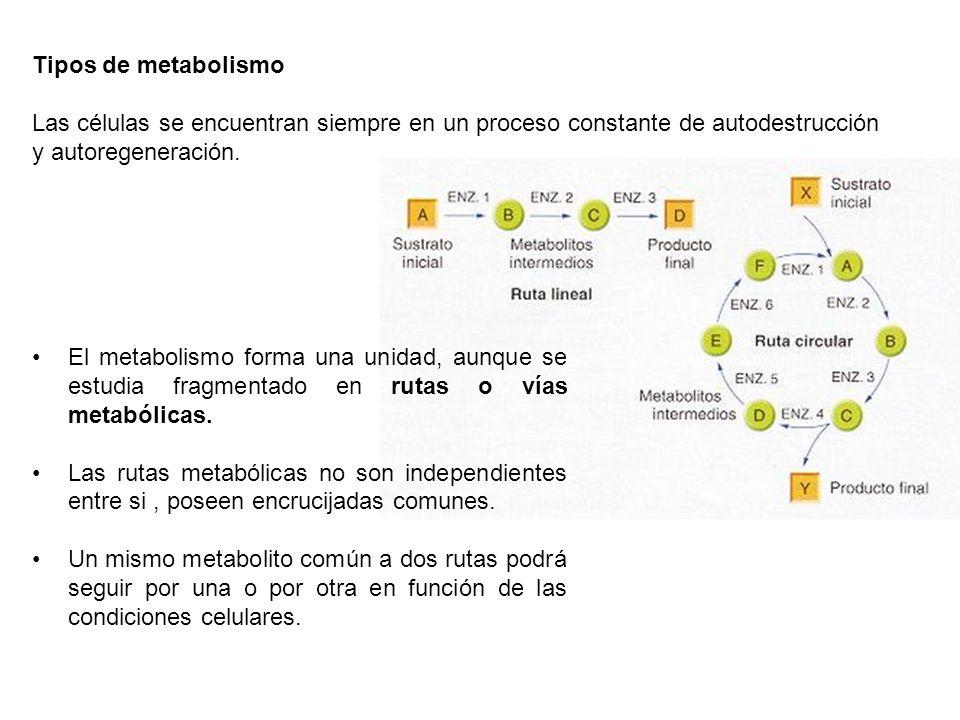 Tipos de metabolismo Las células se encuentran siempre en un proceso constante de autodestrucción y autoregeneración.