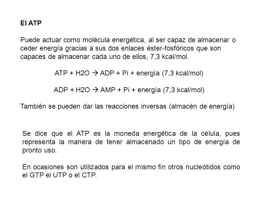 ATP + H2O  ADP + Pi + energía (7,3 kcal/mol)