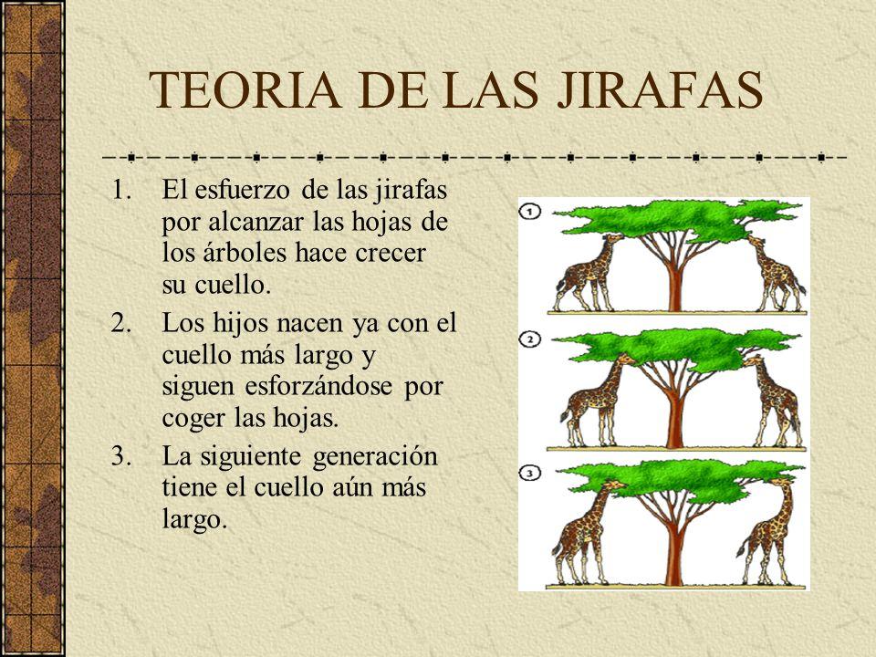 TEORIA DE LAS JIRAFAS El esfuerzo de las jirafas por alcanzar las hojas de los árboles hace crecer su cuello.