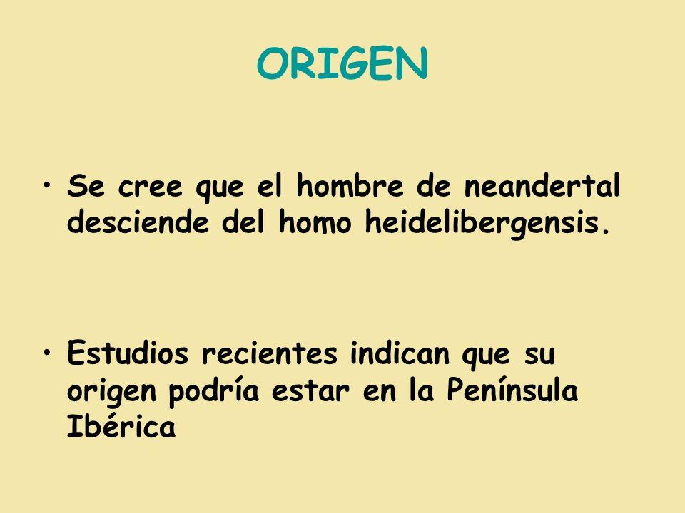 ORIGEN Se cree que el hombre de neandertal desciende del homo heidelibergensis.