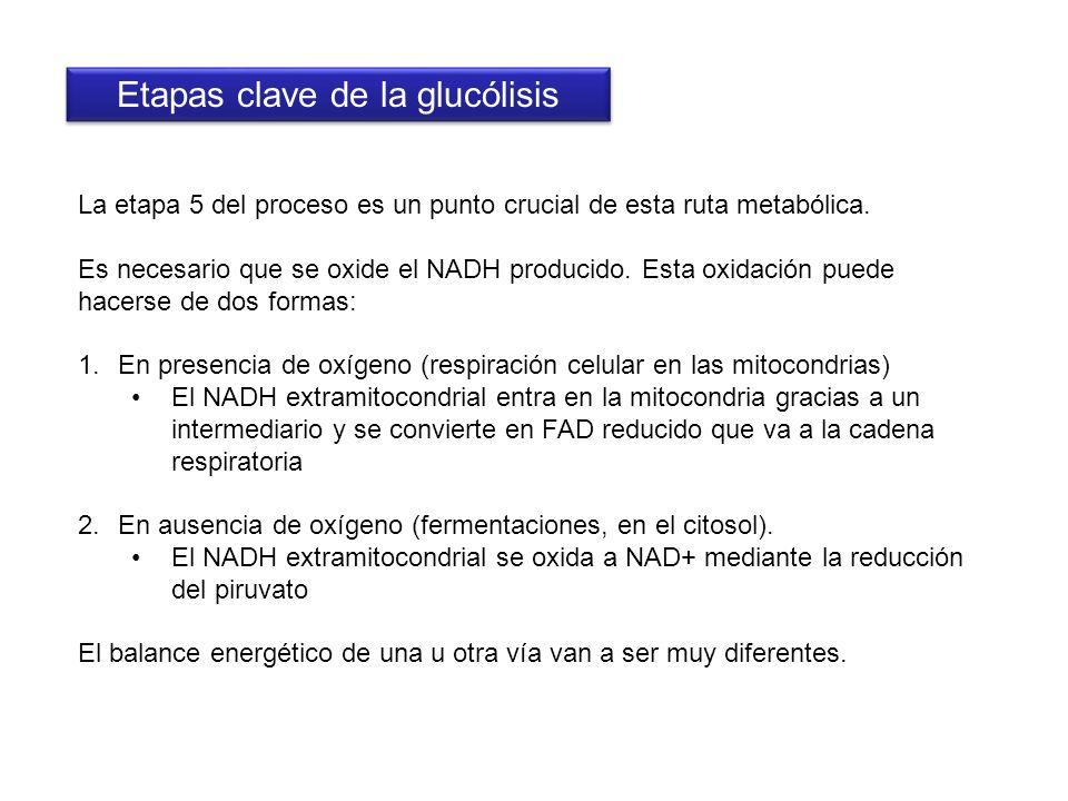 Etapas clave de la glucólisis