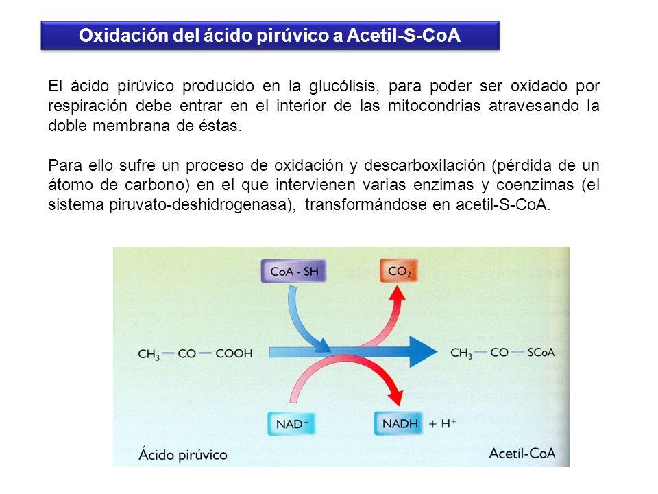Oxidación del ácido pirúvico a Acetil-S-CoA