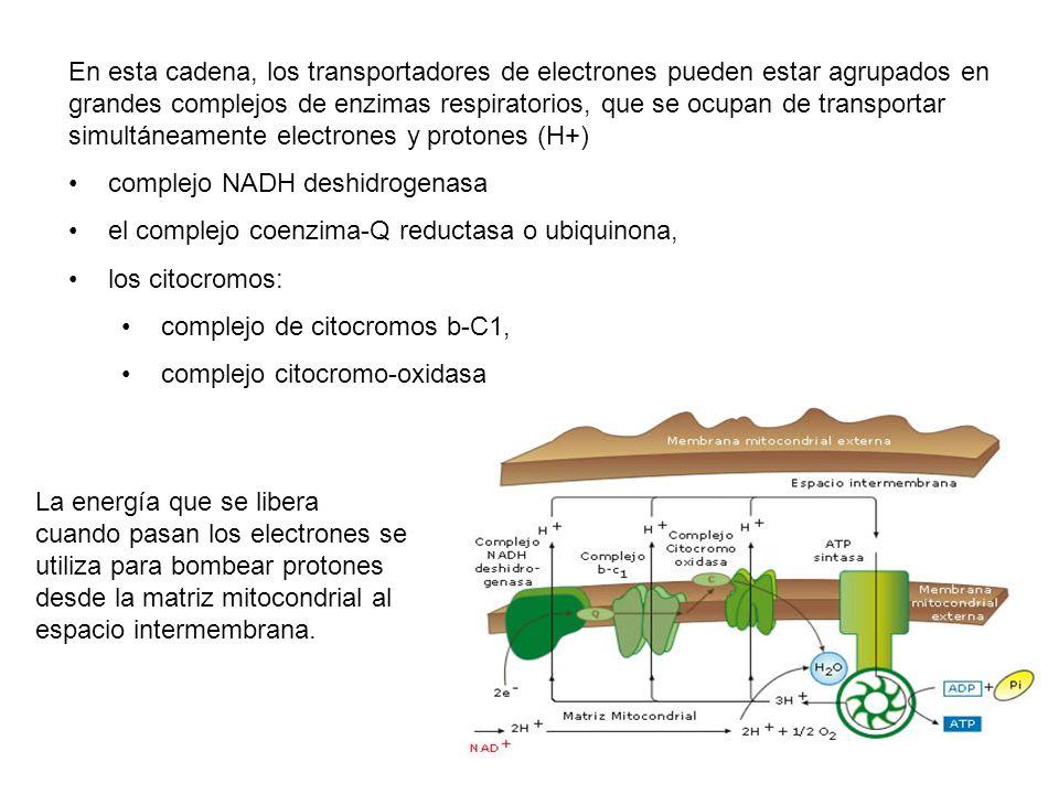 En esta cadena, los transportadores de electrones pueden estar agrupados en grandes complejos de enzimas respiratorios, que se ocupan de transportar simultáneamente electrones y protones (H+)