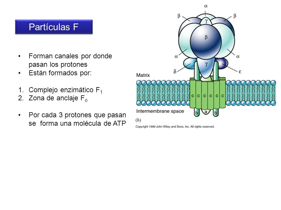 Partículas F Forman canales por donde pasan los protones