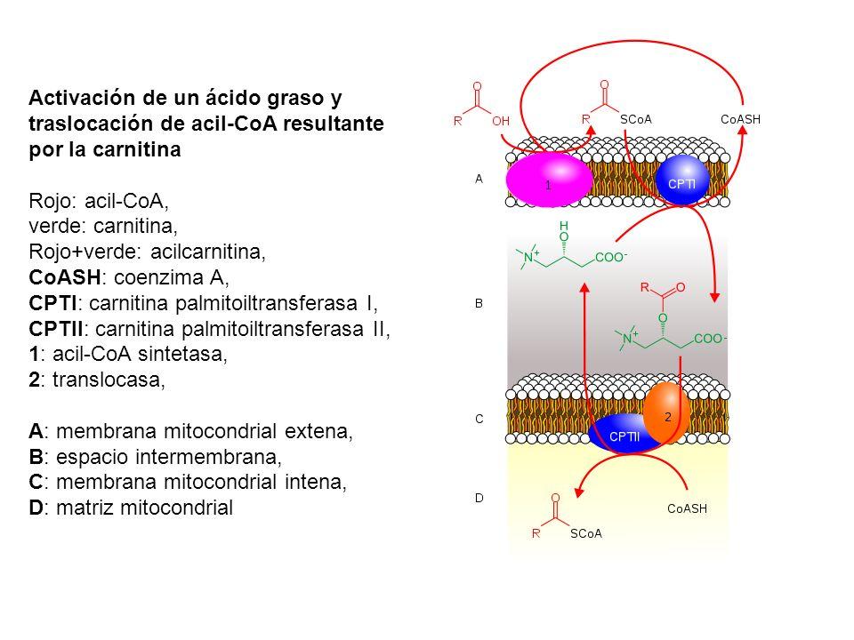 Activación de un ácido graso y traslocación de acil-CoA resultante por la carnitina