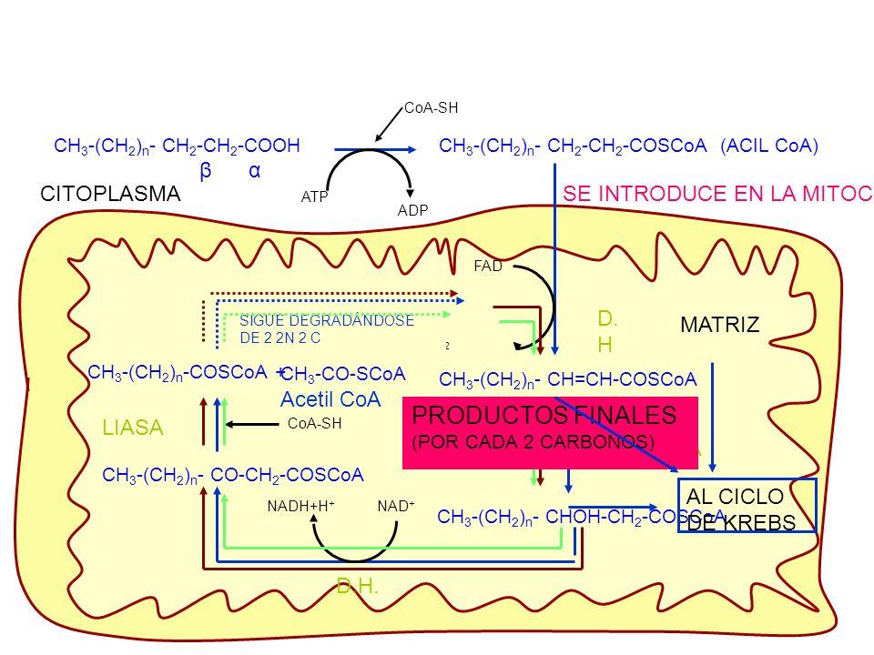 PRODUCTOS FINALES β α CITOPLASMA SE INTRODUCE EN LA MITOCONDRIA D.H