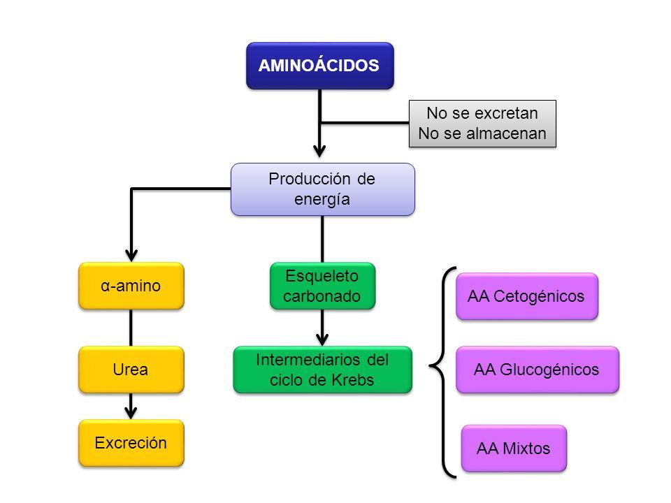 Intermediarios del ciclo de Krebs