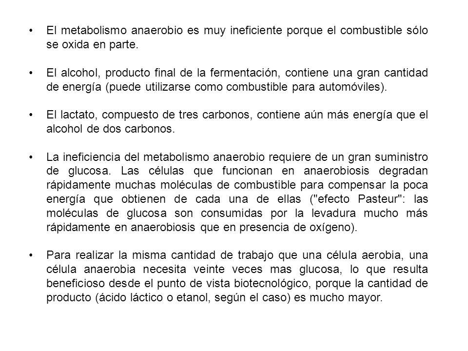 El metabolismo anaerobio es muy ineficiente porque el combustible sólo se oxida en parte.