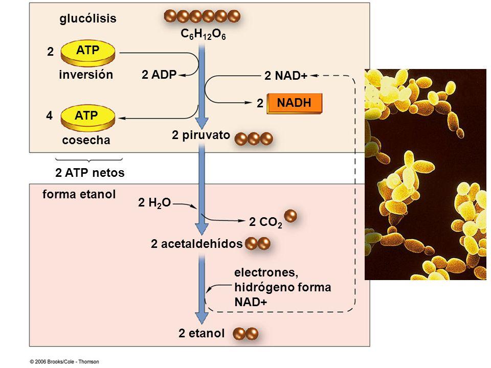 C6H12O6 ATP. NADH. 2 acetaldehídos. electrones, hidrógeno forma NAD+ 2 NAD+ 2. 2 ADP. 2 piruvato.