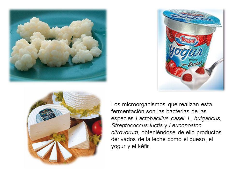 Los microorganismos que realizan esta fermentación son las bacterias de las especies Lactobacillus casei, L.
