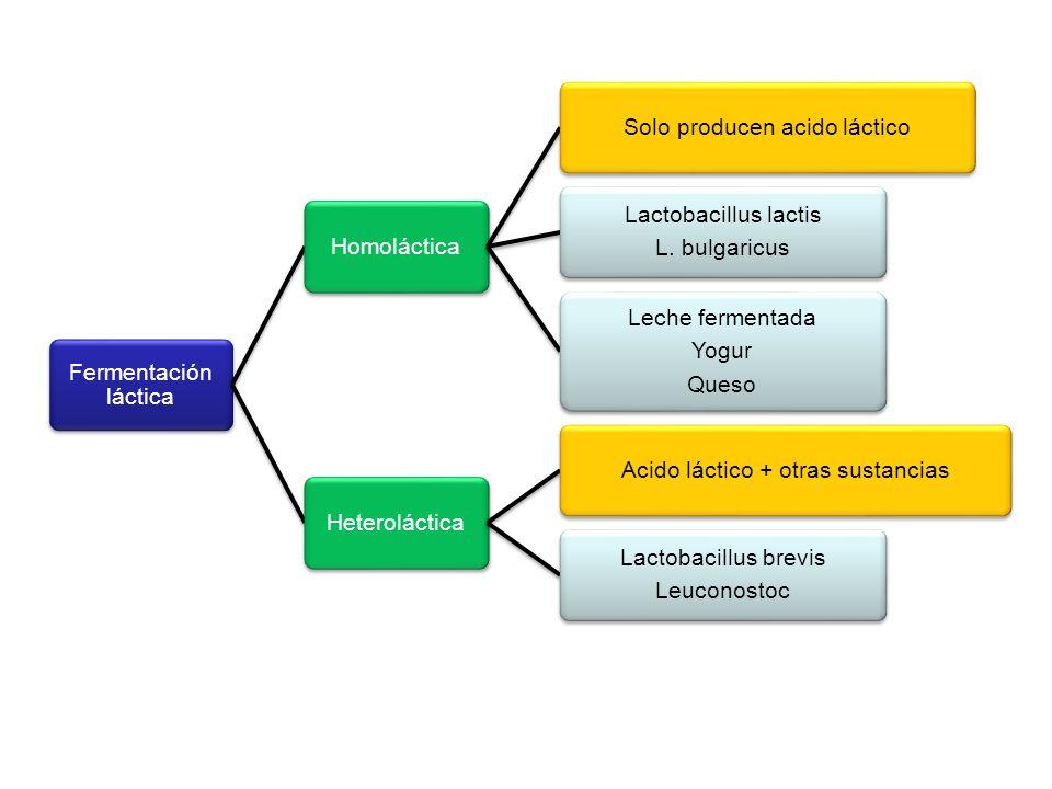 Solo producen acido láctico Lactobacillus lactis L. bulgaricus