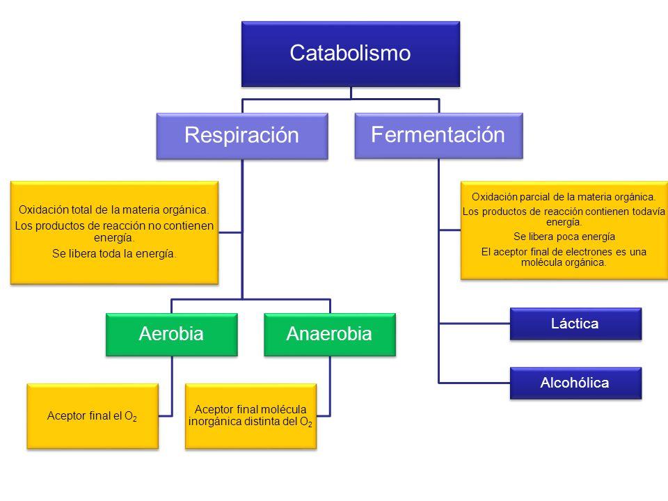 Catabolismo Respiración Fermentación Anaerobia Aerobia Alcohólica