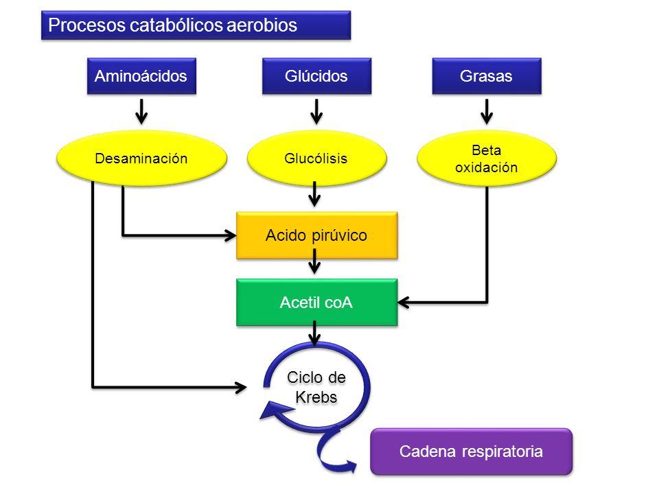 Procesos catabólicos aerobios